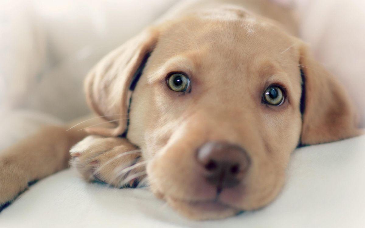 Фото бесплатно щенок, друг, собака, взгляд, животные, собаки, собаки - скачать на рабочий стол