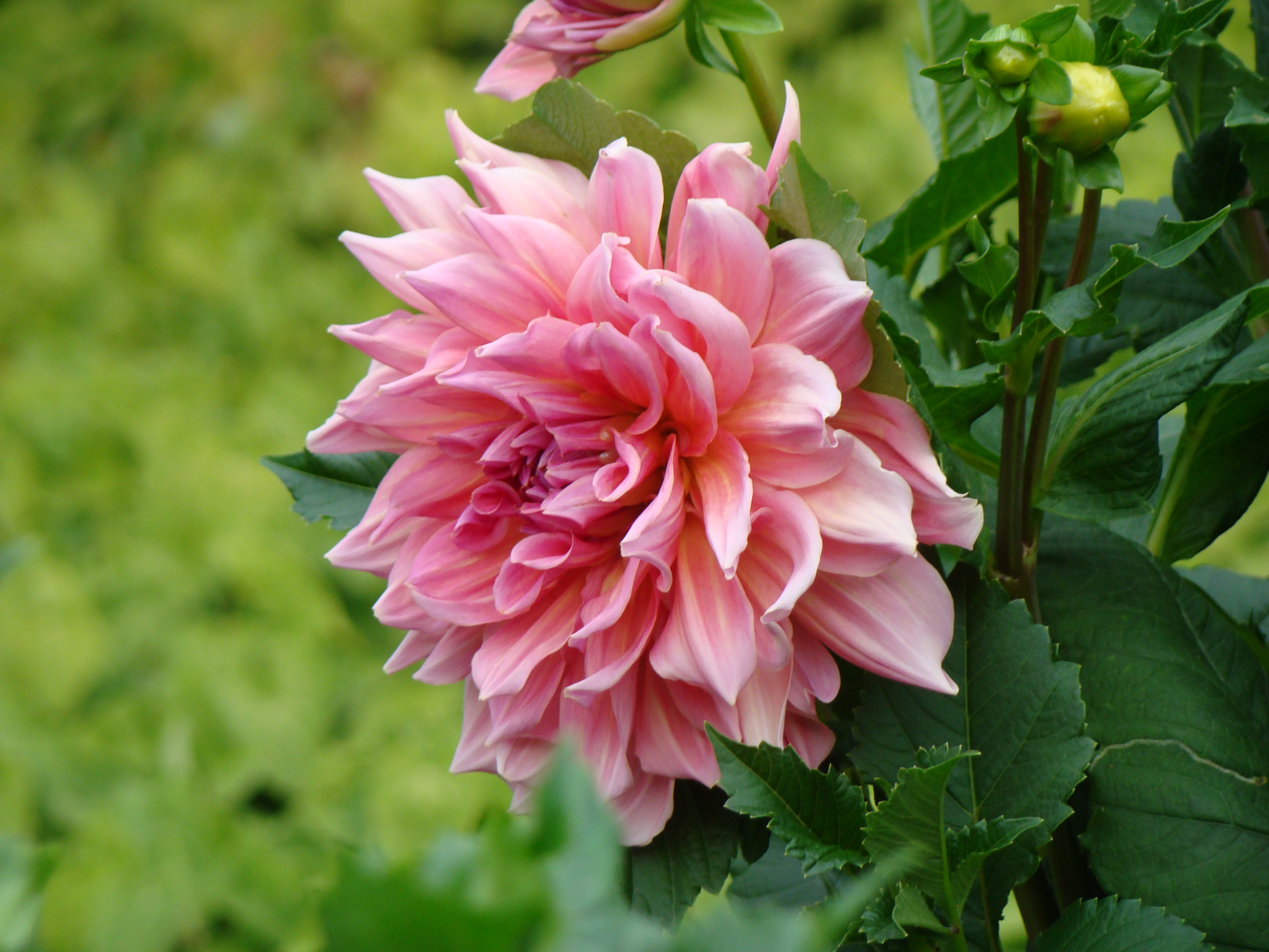 георгин, цветы, цветок