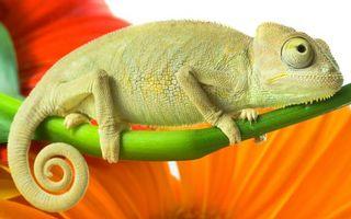 Обои хамелеон, ящерица, хвост, лапы, глаза, стебель, животные