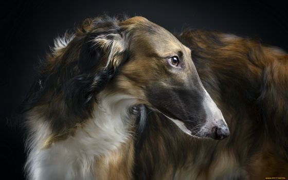 Photo free horta, Russian greyhound, hunting