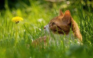 Фото бесплатно кот, глаза, уши