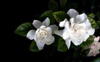 Бесплатные фото лепестки,белые,нежные,листья,зеленые,фон,черный