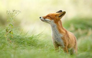 Фото бесплатно лиса, рыжая, лето