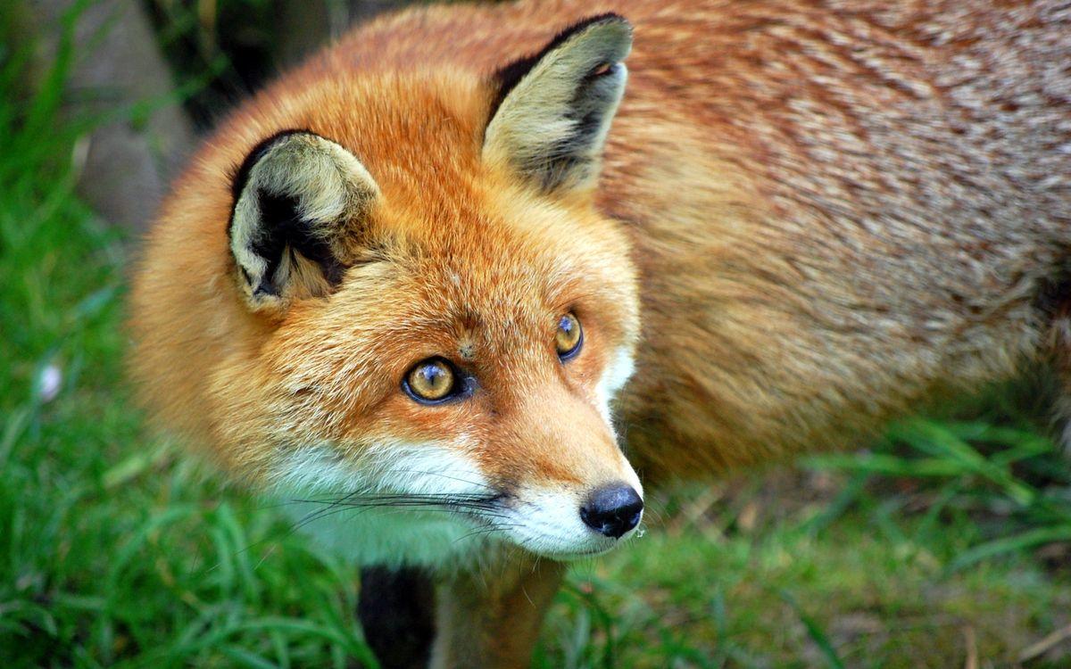 Фото бесплатно лиса, глаза, удивление, рыжая, шерсть, животные, ситуации, ситуации