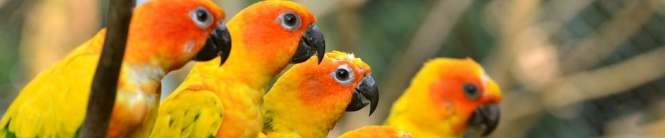 Photo free parrots, yellow, color