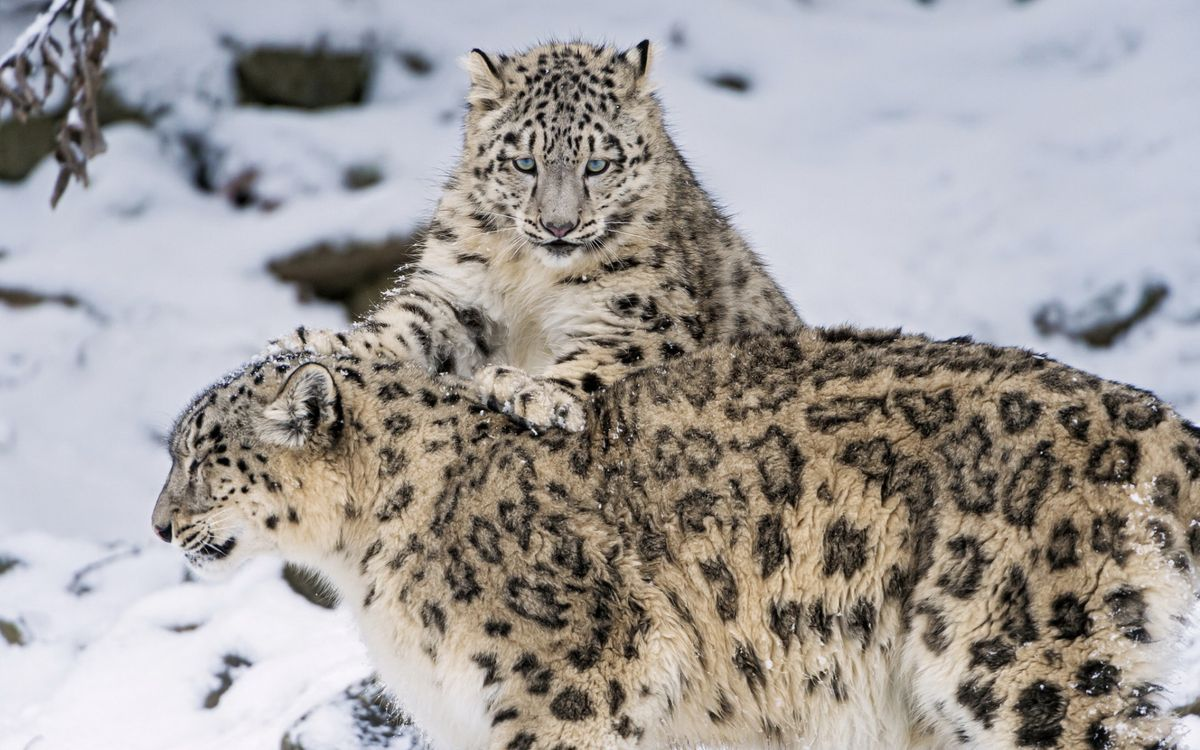 Free photo tigers, lynxes, family - to desktop