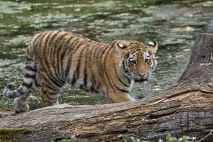 Заставки амурский, тигр, тигренок