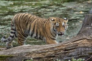Photo free Amur, tiger, tiger cub