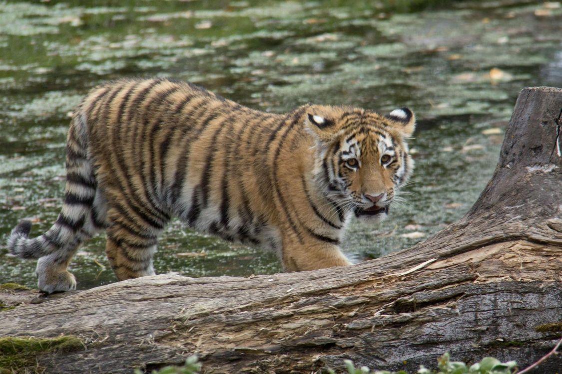 Фото бесплатно амурский, тигр, тигренок - на рабочий стол