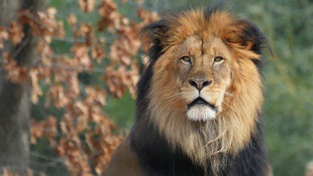 Photo free lion, eyes, mane