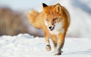Бесплатные фото лиса,рыжая,снег,облизывается,походка,животные