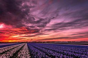 Бесплатные фото Lisse-Netherlands,Лиссе,Нидерланды закат,поля,цветы,пейзаж