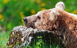 Бесплатные фото медведь,голова,уши,шерсть,камень,лес,поляна