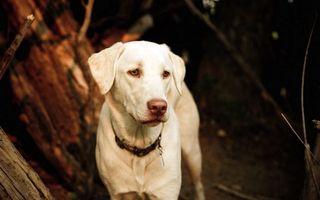 Бесплатные фото пес,щенок,грустный,белый,шерсть,глаза,уши