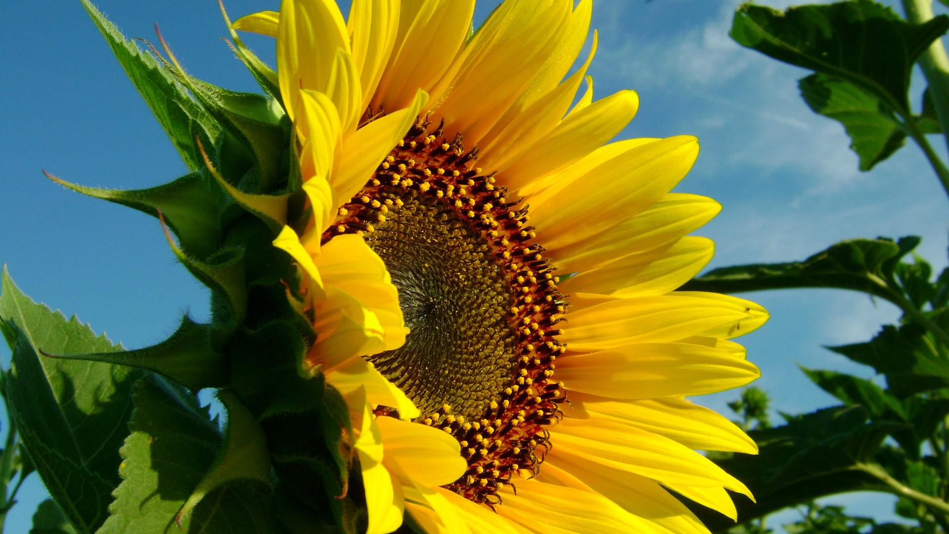 природа цветы подсолнечник  № 2671756 бесплатно
