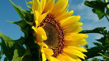 Бесплатные фото подсолнух,цветет,лепестки,семечки,желтый,лето,небо