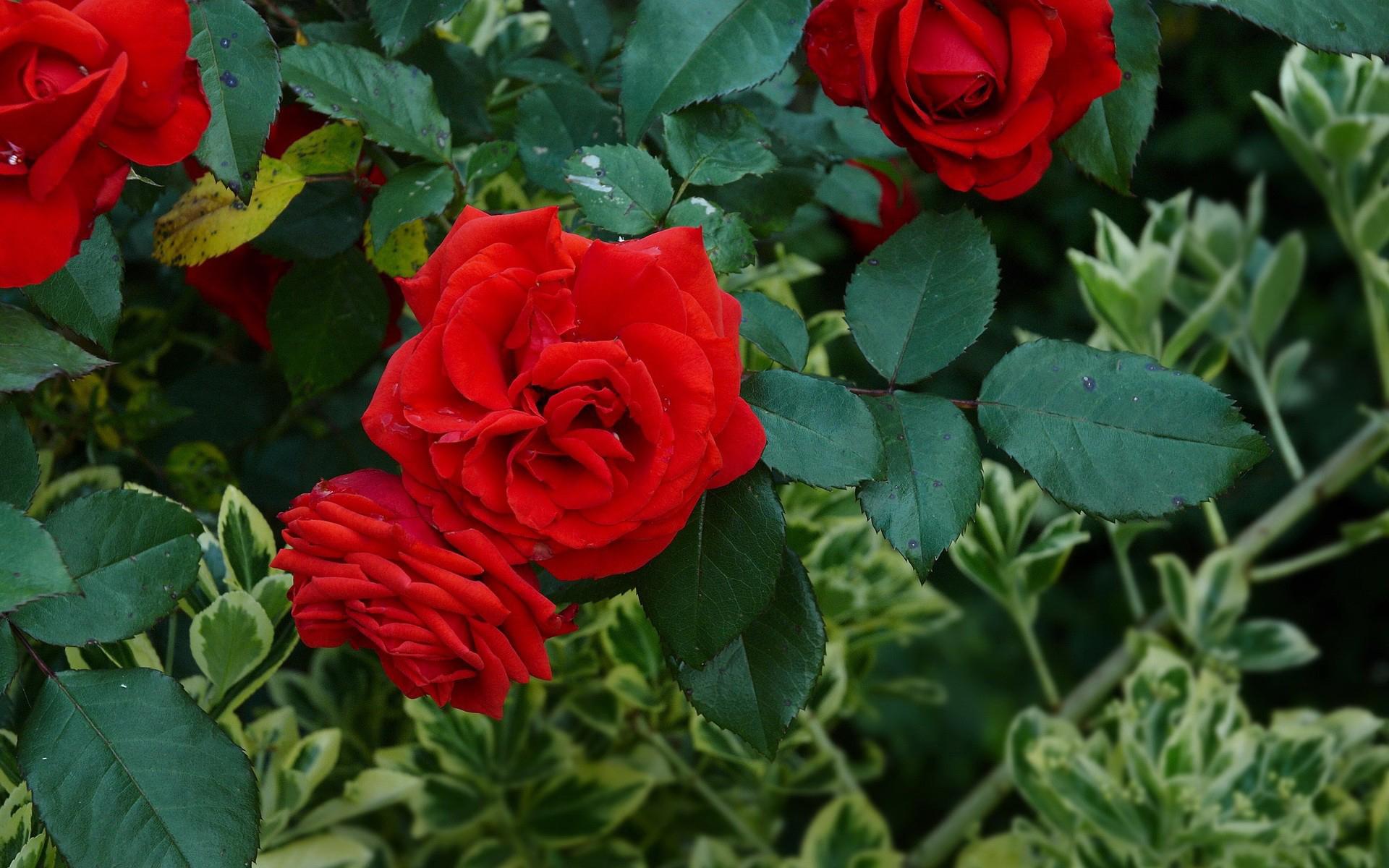 розы, куст, лужайка, бутоны, листья загрузить
