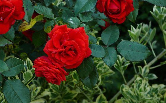 Фото бесплатно роза, бутон, лепестки