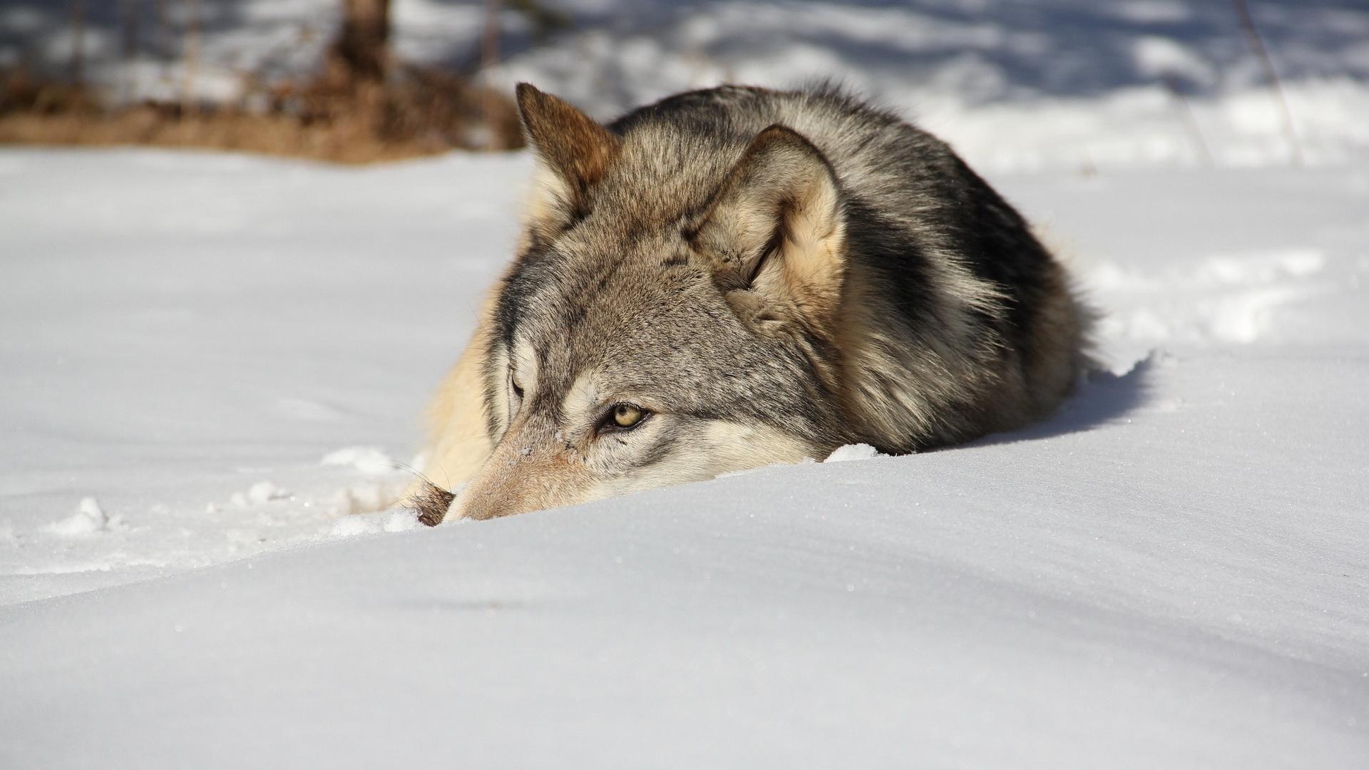 волк, шерсть, серая