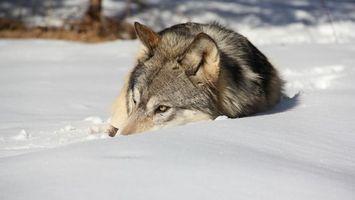 Заставки волк, шерсть, серая, снег, глаза, уши, животные