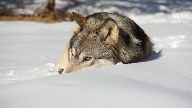Заставки волк, шерсть, серая