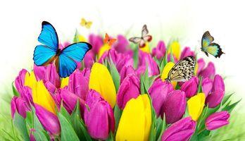 Фото бесплатно тюльпаны, бабочки, цветы