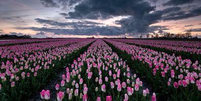 Бесплатные фото закат,поле,тюльпаны,цветы,пейзаж