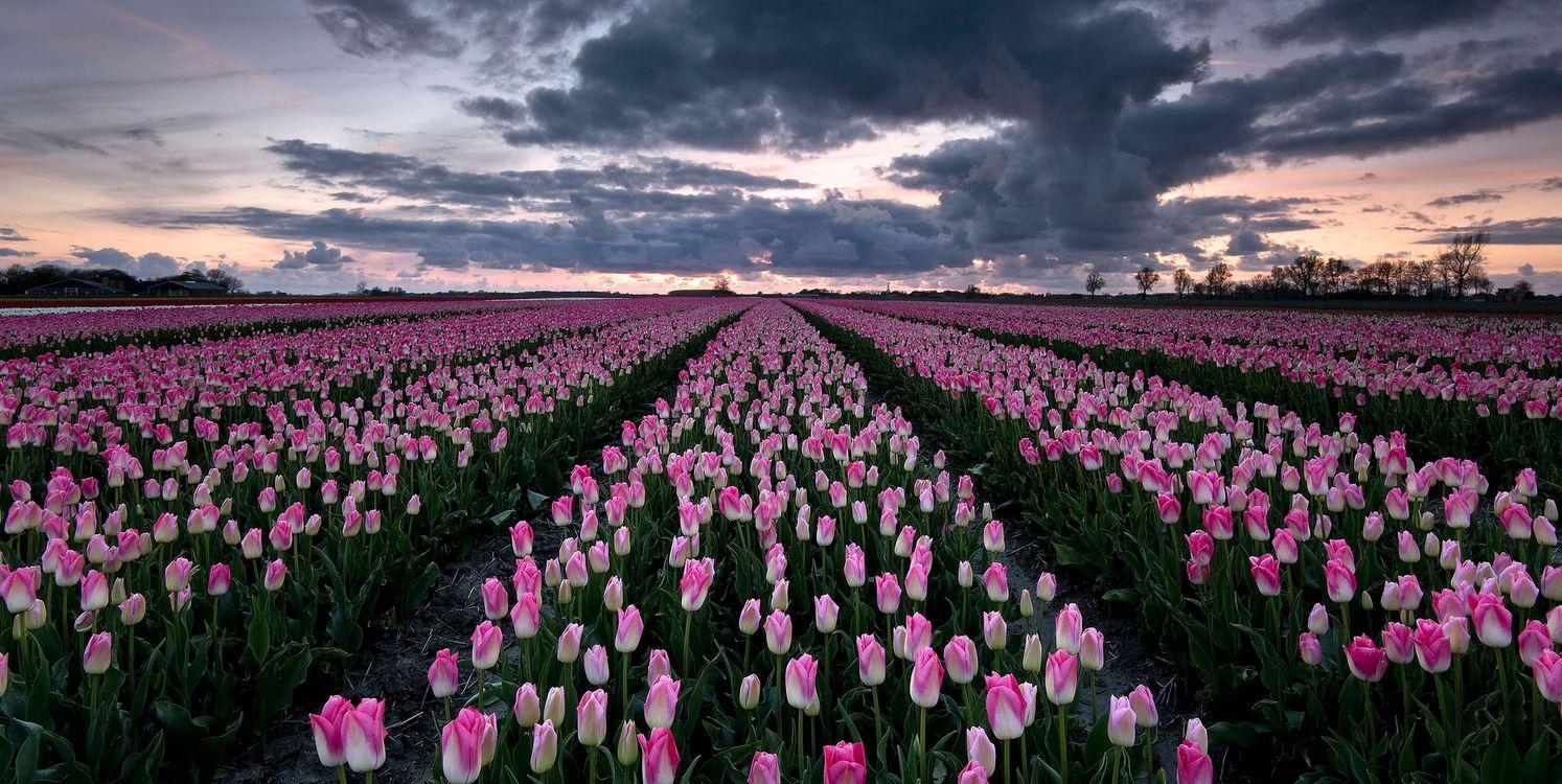 Фото бесплатно закат, поле, тюльпаны, цветы, пейзаж, пейзажи
