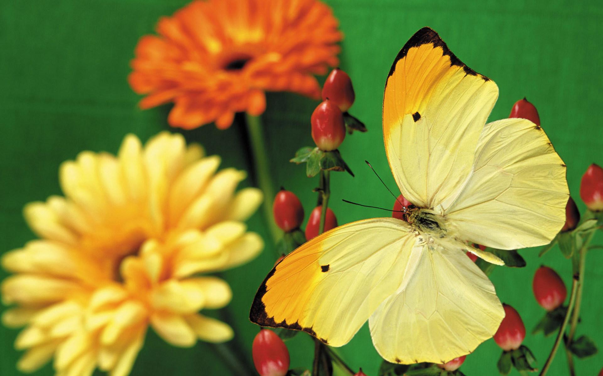 цветы,желтые,бабочка  № 664842  скачать
