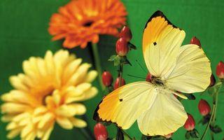 Бесплатные фото бабочка,крылья,желтые,усики,бутоны,цветы