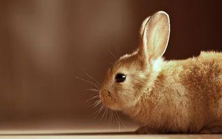 Photo free rabbit, muzzle, ears