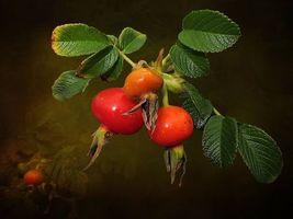 Заставки ветка, шиповник, макро, листья, плоды