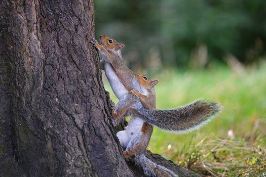 Photo free squirrels, breeding season, game