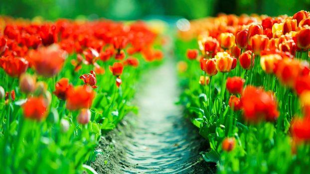 Бесплатные фото цветы,тюльпаны,поляна,запах