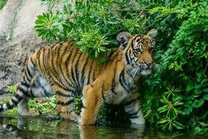 Заставки тигр, тигрёнок, хищник