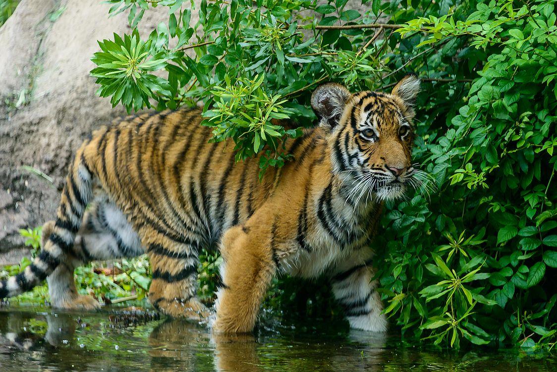 Фото бесплатно тигр, тигрёнок, хищник - на рабочий стол
