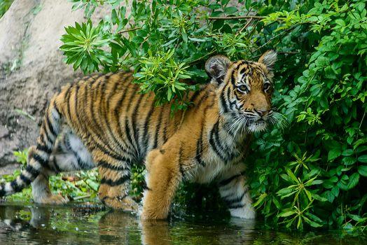 Фото бесплатно тигр, тигрёнок, хищник