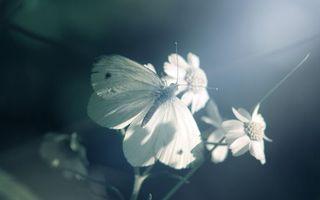 Заставки бабочка, крылья, усики, ромашки, черно-белое