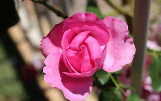Фото бесплатно стебель, листья, розовый