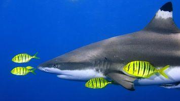 Фото бесплатно акула, жабры, плавники, рыбки, желтые, полосатые