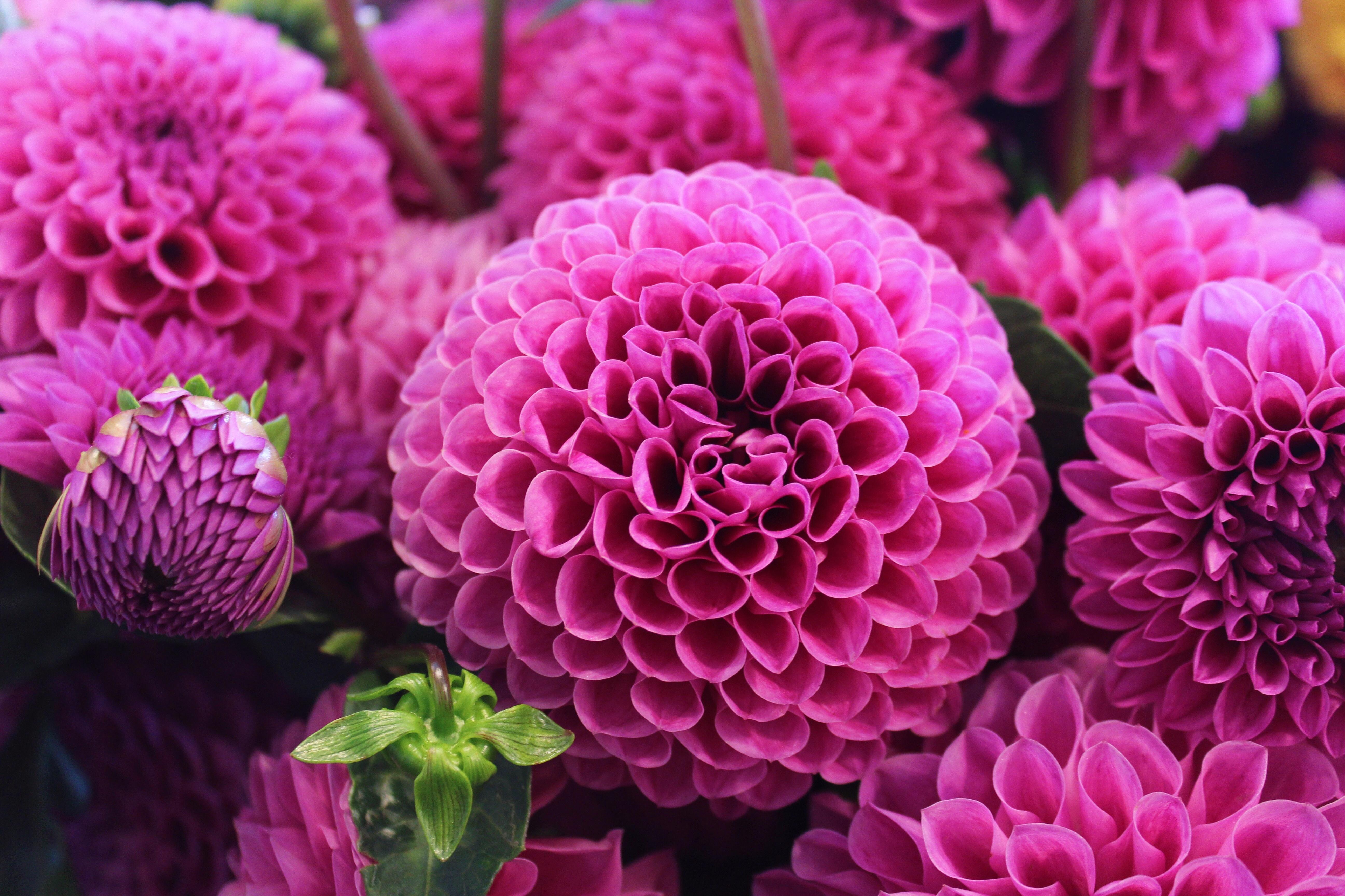 георгин, георгины, цветы