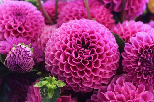 Фото бесплатно георгин, георгины, цветы