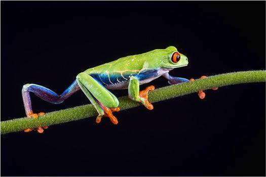 Фото бесплатно лягушка, ползет, по ветке