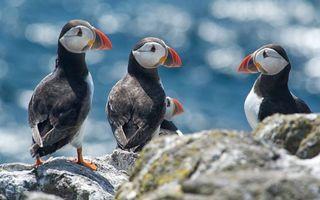 Фото бесплатно птички, топорики, клювы