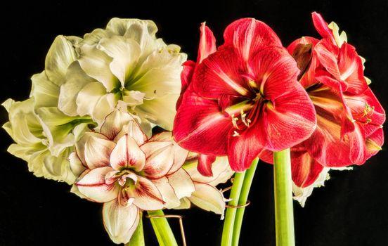 Цветок, амариллис, чёрный фон, букет, цветы
