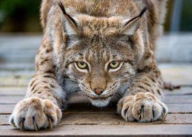 Фото бесплатно животные, природа, рысь