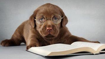 Бесплатные фото щенок,лабрадор,ретривер,очки,книга,читает