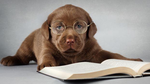 Фото бесплатно щенок, лабрадор, ретривер