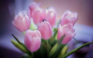 Бесплатные фото тюльпаны,лепестки,розовые,листья,стебли,зеленые