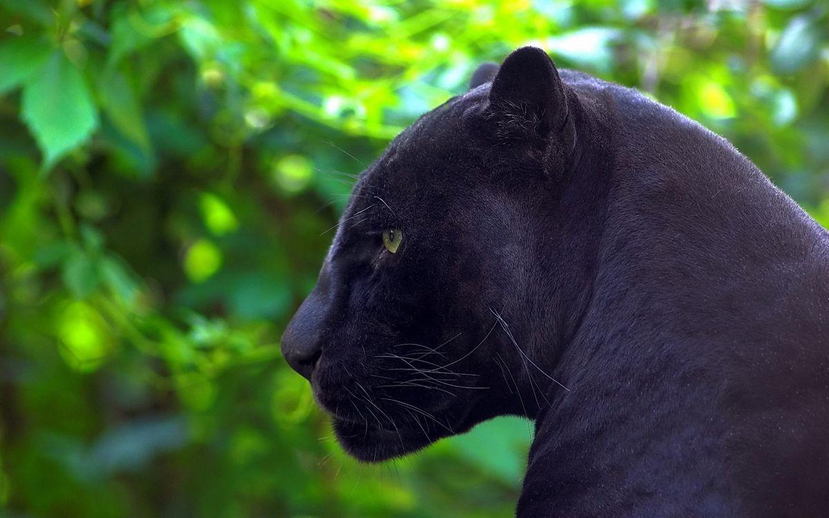 Фото бесплатно пантера, морда, глаза, уши, шерсть, растительность, кошки